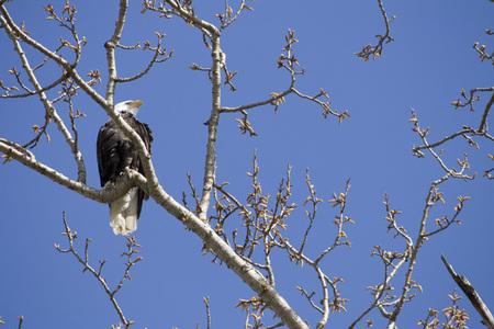 _eagle